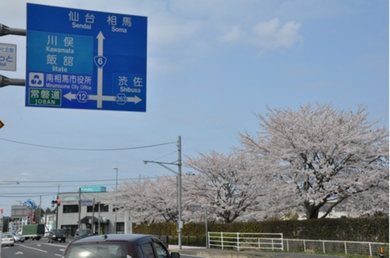 Cherry blossoms in Minami-soma